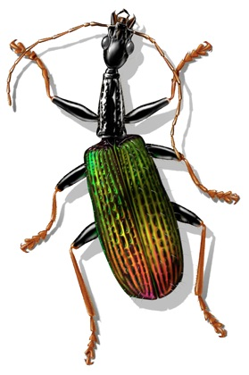 Rainforest beetle